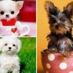 Cамые маленькие породы собак
