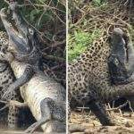 Схватка ягуара и каймана в Бразилии
