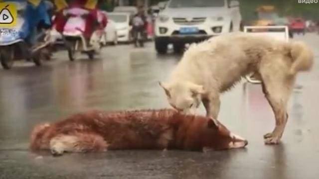 В Китае собака попыталась оживить друга