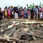 В Индонезии убили 292 крокодила