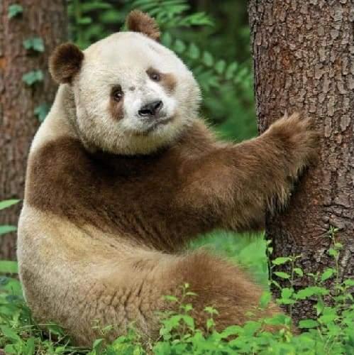 В мире одна единственная коричневая панда